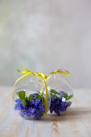 Grape hyacinths in glass spheres
