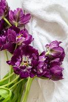 Lila Tulpen 'Purple Peony'