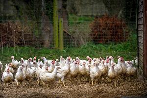 Free-range hens on a farm