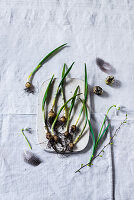 Sprouting ramsons bulbs on board