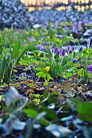 Winter aconite among crocuses