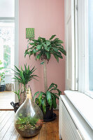 Bottle garden in demijohn and potted yuccas against pink wall