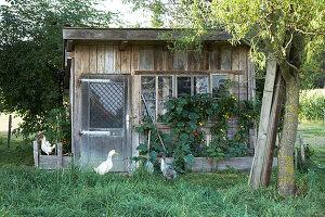 Laufenten und Hühner vor einem rustikalen Gartenhaus