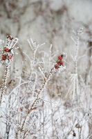 Branches of rose hips covered in hoarfrost in wintry garden