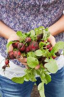 Hands holding freshly harvested radishes