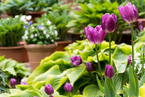 Flowering tulips and hostas in garden