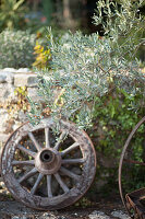 Old cart wheel and olive tree in front of stone wall