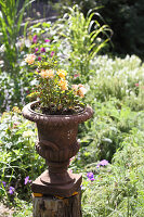 Apricot rose planted in metal urn