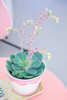 Flowering succulent in pink-and-white pot