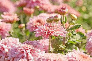 Pink chrysanthemums in garden