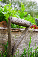 Rocket growing in a raised bed with old garden tool in foreground