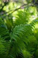 Saftig grüne Farnblätter im Freien