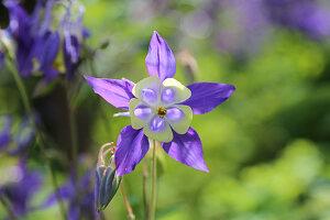 Flowering aquilegia in garden