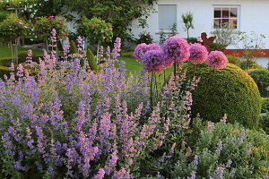 Flowering cat mint and alliums in garden