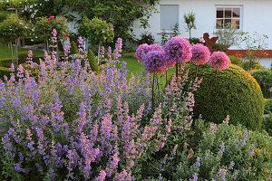 Flowering cat mint and alliums in garden