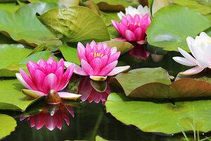 Lilies in a garden pond