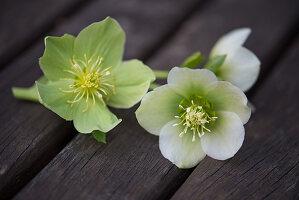 Hellebore flowers (Helleborus X hybridus 'Harvingtons')
