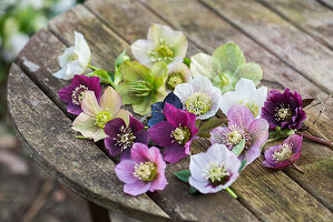 Hellebore flowers of various colours on wooden table