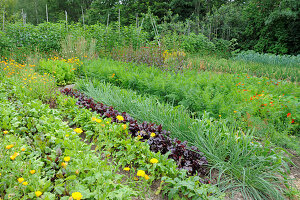 Rows of vegetables in well-tended cottage garden