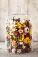 Dried, multicoloured everlasting flowers under glass cover