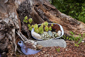 Succulents planted in baking tray and saucepan at base of tree stump