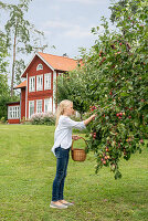 Girl picking fruit from tree in garden of Swedish house