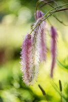 Japanischer Wiesenknopf 'Lilac Squirrel'