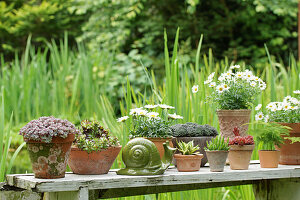 Sukkulenten, Margeriten und Zierspargel in Blumentöpfen auf Gartentisch