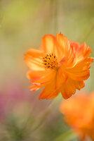 Orangeblühendes Schmuckkörbchen der Sorte Schwefelcosmee 'Cosmos'