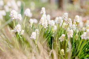 White grape hyacinths in garden