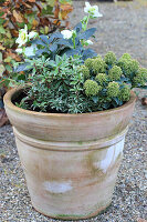 Container planted with hellebore, Japanese andromeda and skimmia