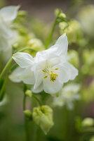 Weiße Blüte von Akelei