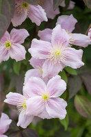 Rosafarbene Blüten der Berg-Waldrebe