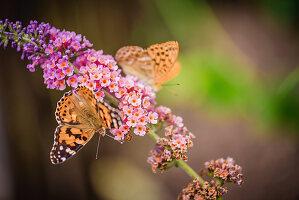 Distelfalter und Kaisermantel auf Blüte von Sommerflieder
