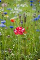 Blumenwiese mit gefüllten Klatschmohn und Kornblumen