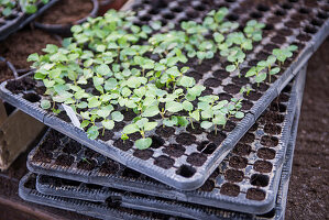 Seedlings of summer plants in cell seed tray