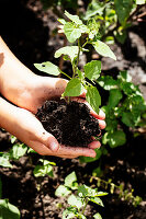 Mädchen hält Jungpflanze mit Wurzelballen in den Händen
