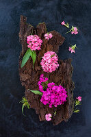 Sweet Williams (Dianthus barbatus) on bark on dark surface