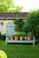 Planted terracotta pots on pale blue wooden bench in garden