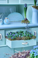 Violas planted in open drawer