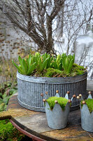 Early spring arrangement of hyacinths planted in zinc containers