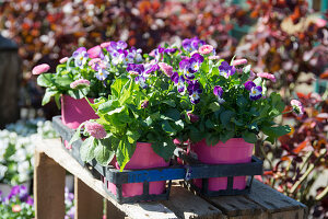 Horny violets and daisies in pink and purple