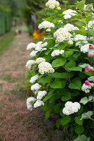 White-flowering hydrangeas growing along gravel path