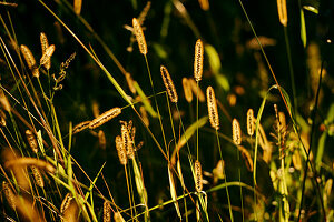 Foxtail barley in sunlight