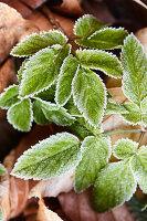 Ground elder leaves covered in hoar frost