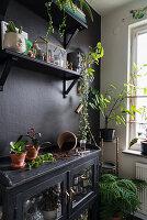 Vitrinenschrank als Pflanztisch vor schwarzer Wand mit Regalen