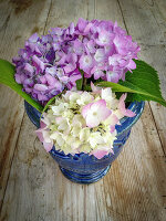Hydrangeas in a blue bucket