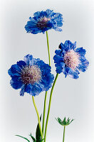 Scabious flowers against pale background