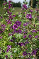 Blühende Malve im Duft- und Tastgarten Papendorf