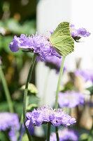 Brimstone butterfly on scabious flower